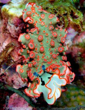 sea slug from South Andaman Sea, by greg piper photography