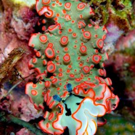 sea slug from South Andaman Sea, by greg piper photography