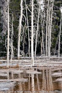 yellowstonetrees