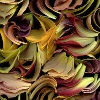 Hemerocallis (Daylily) petals by horticultural art
